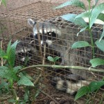 2 raccoons in one cage not bad