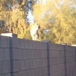 can you spot the bobcat
